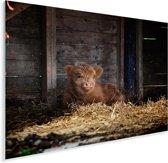 Jong Schotse hooglander kalf liggend in het stro Plexiglas 160x120 cm - Foto print op Glas (Plexiglas wanddecoratie) XXL / Groot formaat!