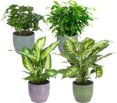 Hee Dat Is Het | Combibox met kamerplanten in een sierpot - Ficus Green Kinky -  Coffea Arabica - Dieffenbachia Compacta -  Dieffenbachia Camilla - Kamerplanten kopen
