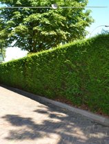 Venijnboom Taxus baccata 120-140 cm, 20x haagplant, incl. bezorging