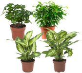 Choice of Green  - 4 Ficus, Koffieplant, Dieffenbachia compacta en Camilla - Kamerplant in Kwekers Pot ⌀12 cm  -  Hoogte ↕23 cm