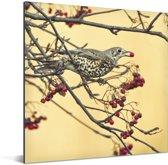 Prachtige foto van een grote lijster die een bes opeet Aluminium 20x20 cm - klein - Foto print op Aluminium (metaal wanddecoratie)