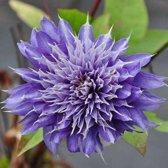 Clematis Multi Blue 50-60cm in pot