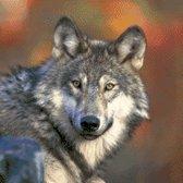 MyHobby Borduurpakket – Wolf 40×40 cm - Aida 5,5 steken/cm - 100% katoen