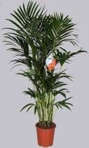 Palm Kentia - 150 cm met 10 stekken