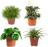 Combi pakket groene kamerplanten: peperomia, chlorofytum (graslelie), pannekoekenplant en senecio (kruiskruid)