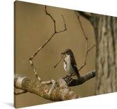 Foto van een bonte vliegenvanger in Zuid-Afrika Canvas 120x80 cm - Foto print op Canvas schilderij (Wanddecoratie woonkamer / slaapkamer)