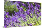 Heldere paarse lavendel Aluminium 120x80 cm - Foto print op Aluminium (metaal wanddecoratie)
