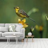 Fotobehang vinyl - Een prachtig beeld van een gele kwikstaart op een gele narcis breedte 425 cm x hoogte 340 cm - Foto print op behang (in 7 formaten beschikbaar)