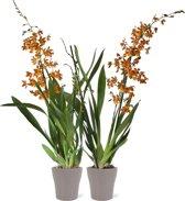 Orchideeën van Botanicly | 2 × Orchidee oranje incl. bloempot antraciet als set | Hoogte: 60 cm  | Cambria Burrageara 'Catatante'