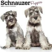 Schnauzer Puppies 2020 Mini 7x7