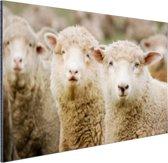 Drie witte schapen Aluminium 90x60 cm - Foto print op Aluminium (metaal wanddecoratie)