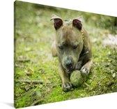 Staffordshire Bull Terrier met een tennisbal Canvas 180x120 cm - Foto print op Canvas schilderij (Wanddecoratie woonkamer / slaapkamer) / Huisdieren Canvas Schilderijen XXL / Groot formaat!