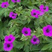 6 x Geranium Psilostemon -  Ooievaarsbek pot 9x9cm