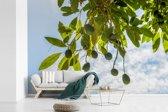 Fotobehang vinyl - Avocado's op aan de takken breedte 390 cm x hoogte 260 cm - Foto print op behang (in 7 formaten beschikbaar)