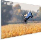 Een kleurrijke Europese kraanvogel is aan het vliegen Plexiglas 120x80 cm - Foto print op Glas (Plexiglas wanddecoratie)