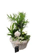 Kamerplant van Botanicly – Arrangement Basic creatie in mand wit – Hoogte: 35 cm