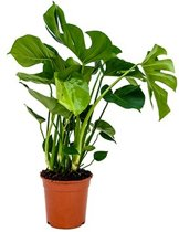 Monstera Gatenplant Philodendron | 75cm