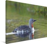 Roodkeelduiker zwemt in het water Canvas 140x90 cm - Foto print op Canvas schilderij (Wanddecoratie woonkamer / slaapkamer)