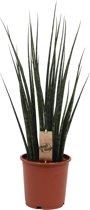 Sansevieria 'Fernwood' Mikado L,  Hoogte 70 CM, Pot Ø 19 CM