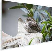 Uilnachtzwaluw in een boom Plexiglas 30x20 cm - klein - Foto print op Glas (Plexiglas wanddecoratie)