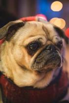 Dearest Pug Puppy Dog Journal