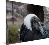 Een portret van een Andescondor Canvas 90x60 cm - Foto print op Canvas schilderij (Wanddecoratie woonkamer / slaapkamer)