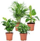 Choice of Green  - Mix van 4 luchtzuiverende planten: Chamaedorea, Syngonium, Musa, Coffea - Kamerplant in Kwekers pot ⌀12 cm  -  Hoogte ↕25 cm