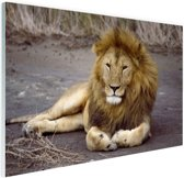 Liggende leeuw in Afrika Glas 120x80 cm - Foto print op Glas (Plexiglas wanddecoratie)