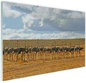 FotoCadeau.nl - Kudde struisvogels fotoafdruk Glas 30x20 cm - Foto print op Glas (Plexiglas wanddecoratie)