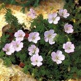 6 x Geranium Sanguineum Striatum - Bloedooievaarsbek pot 9x9cm
