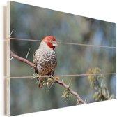 Roodkopamadine rust uit op een takje Vurenhout met planken 120x80 cm - Foto print op Hout (Wanddecoratie)