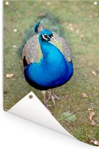 Close-up van een blauwe pauw Tuinposter 80x120 cm - Tuindoek / Buitencanvas / Schilderijen voor buiten (tuin decoratie)