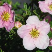 Potentilla Fruticosa Princess (= 'Pink Queen') - Struikganzerik 25-30 cm pot
