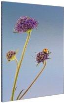 Lieveheersbeestje op bloem blauwe lucht Aluminium 60x90 cm - Foto print op Aluminium (metaal wanddecoratie)