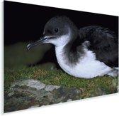 Close-up van een Noordse pijlstormvogel Plexiglas 90x60 cm - Foto print op Glas (Plexiglas wanddecoratie)