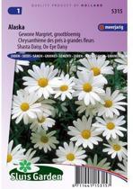 Sluis Garden Margriet Alaska (chrysanth)