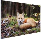 Rustende vos Aluminium 120x80 cm - Foto print op Aluminium (metaal wanddecoratie)