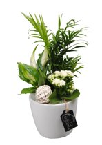 Kamerplant van Botanicly – Arrangement Basic creatie in keramiek witincl. bloempot witals set – Hoogte: 35 cm