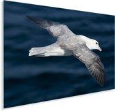 Detailfoto van een Noordse stormvogel Plexiglas 40x30 cm - klein - Foto print op Glas (Plexiglas wanddecoratie)