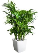 Palm kentia 3XL in watergevende pot wit | 185cm