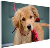 Golden Retriever pup met strik Glas 90x60 cm - Foto print op Glas (Plexiglas wanddecoratie)