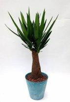 Yucca Elephantipes in pot