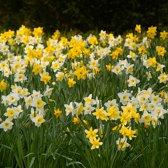 Narcis Trompet, Mix per 300 stuks = 10m² - Bolmaat 12/14 - Geel - Bloembollen