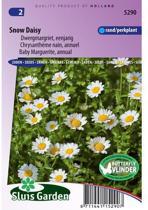 Sluis Garden Margriet Snow Daisy (chrysanthemum)