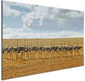 Kudde struisvogels fotoafdruk Aluminium 90x60 cm - Foto print op Aluminium (metaal wanddecoratie)