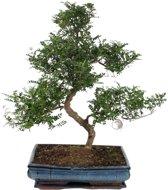 Bonsai Zanthoxylum, extra kwaliteit, 65 CM hoog, 40 CM potdiameter