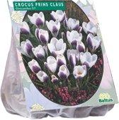 Crocus (Krokus) bloembollen - Chrysanthus Prins Claus - 2 x 65 stuks