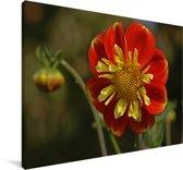 Een rode zinnia bloem Canvas 120x80 cm - Foto print op Canvas schilderij (Wanddecoratie woonkamer / slaapkamer)