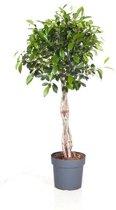 Ficus Benjamina gevlochten medium