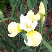 6 x Iris Sibirica 'Butter And Sugar'  - Baardloze Iris pot 9x9cm